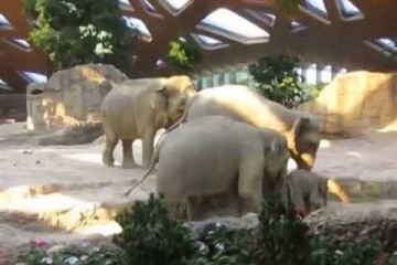 Elephant slips and gets attention